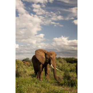 African Elephant, Loxodonta africana, out in a