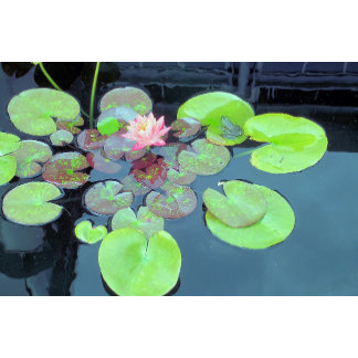 Nature Scene - Frog on a Lily Pad