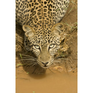 Leopard, Panthera pardus, drinking from a