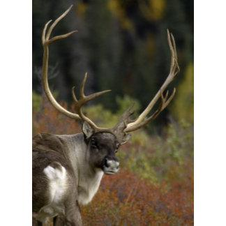 Caribou Patrick Freeny