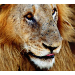 Male Lion.png