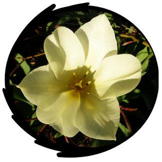 White Tulip Photo