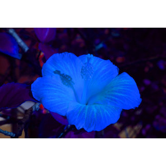 Blue hibiscus colored flower plant