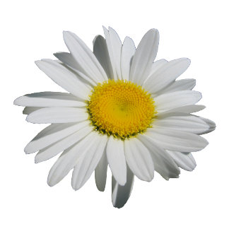 Famous White Daisy