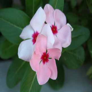 Blooming Beautiful Pink Impatiens Flowers
