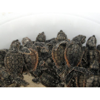 Loggerhead hatchlings Curtis