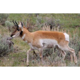 Antelope by Lee Ellsworth