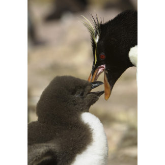 Rock-hopper Penguin, Eudyptes chrysocome,