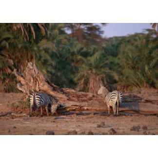 Grant Zebra 5