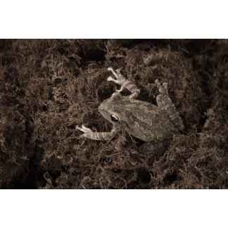 frog left on moss sepia tone