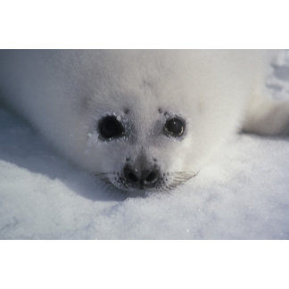 Harp seal (Phoca groenlandica) A week-old harp