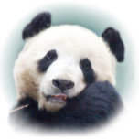 Panda Vignette Last_edited-1.png