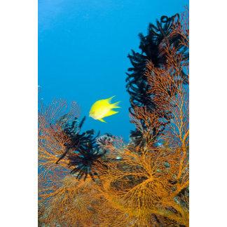 Golden Damselfish (Amblyglyphidodon aureus),