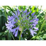 Purple_Agapantha[1].jpg