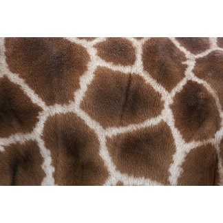 Close up of Giraffes Skin