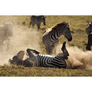 Ngorongoro Crater, Tanzania, Common Zebra, Equus