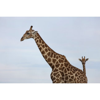 Giraffe (Giraffa camelopardalis), Chobe National