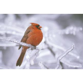 Canada, Quebec. Male northern cardinal on limb