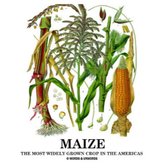 Maize The Most Widely Grown Crop In The Americas