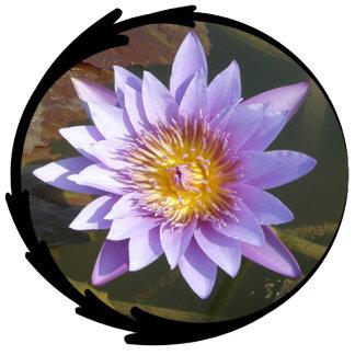 Purple Lotus/Water Lily Photo