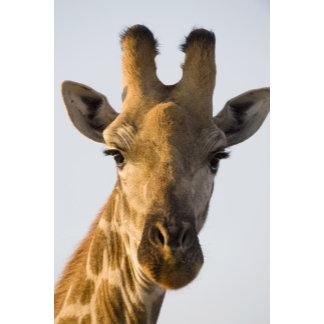 Giraffe (Giraffa camelopardalis) portrait