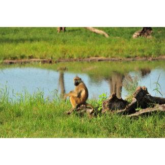 Baboon by the Waterhole