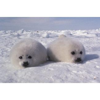 Harp seal (Phoca groenlandica) Harp seal pups
