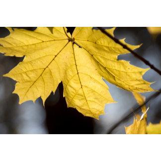 Sugar maple, fall