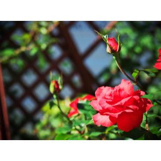 Stray Rose
