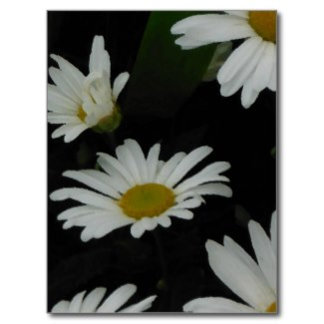 Daisies and Daisies