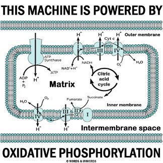 ATP Molecule & Electron Transport Chain