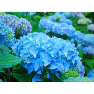 HYDRANGEA FLOWER GIFTS