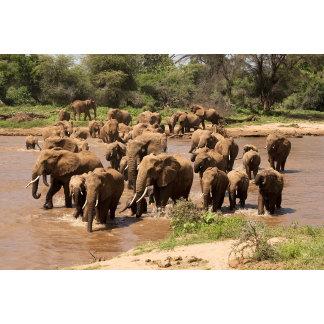 African Elephant, Loxodonta africana, crossing