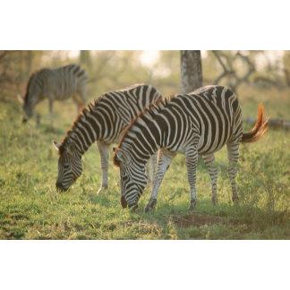 Burchell's Zebras, Equus burchelli grazing,