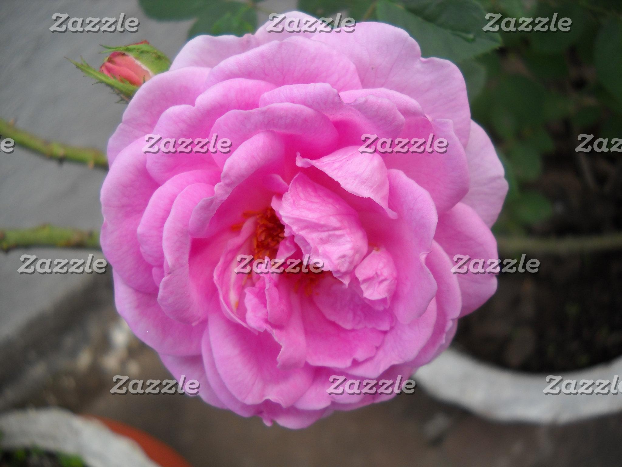 Beauty of Rose.JPG