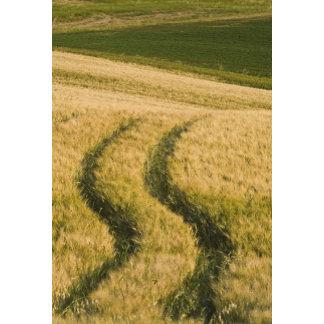 Tractors tracks through wheat, Tuscany, Italy