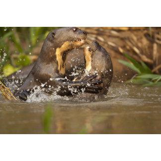 Pantanal NP, Brazil, Giant River Otter,