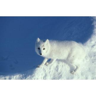 Arctic fox Alopex lagopus) An arctic fox, in
