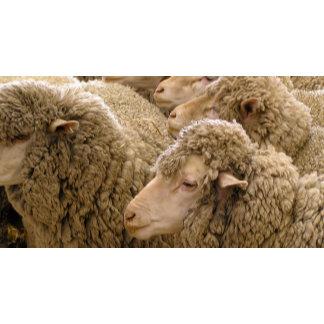Sheep merino