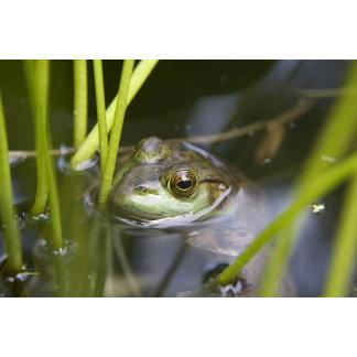 Bull frog in a swamp