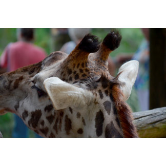 back of giraffe head animal image