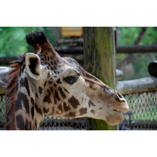 giraffe animal looking right head africa wildlife