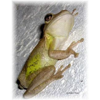 BIG tree frog clinging to stucco wall photograph