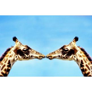 Giraffes touching noses