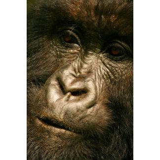 Mountain gorilla France