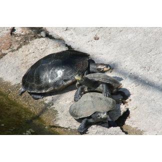 Slider turtles sunning in a row