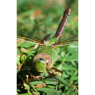 Green Darner Dragonfly (Close-up)