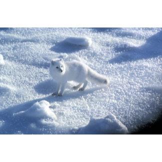 Arctic fox Alopex lagopus) An arctic fox, in 2