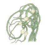 GarlicScapes-Zazzle-PNG.png