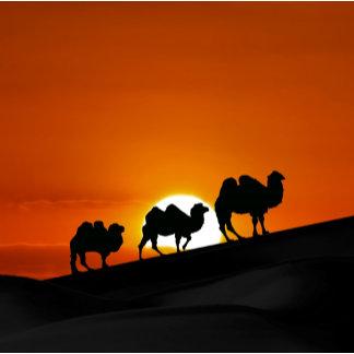 * Camels